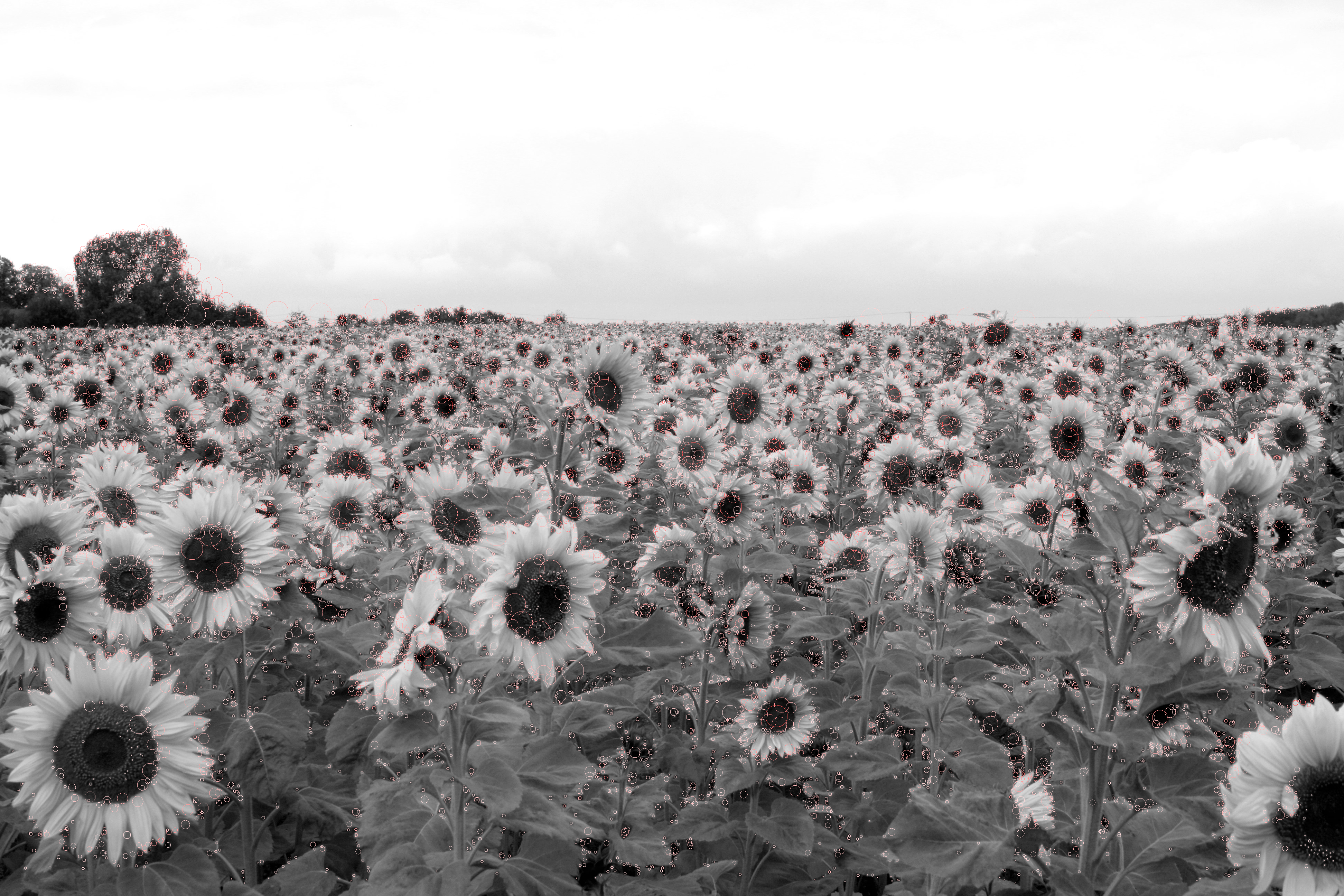 17180 detected blobs in an image showing sunflowers